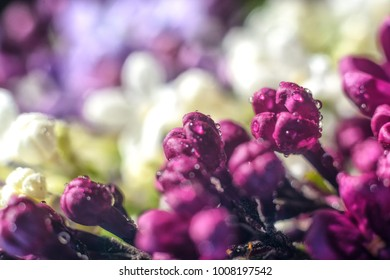 Closed lilac buds (purple, white, lilac) growing in the botanical garden. Lilac (violet), floral background.