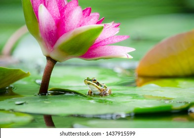 Closed up lttle cute frog sitting on green leaf under beautiful soft pink water lily or lotus flower in rainy morning