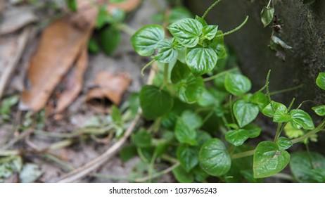 Closed up Pepper elder (Peperomia pellucida) an shallow-rooted herb. Pepper elder (Peperomia pellucida) wild plants.