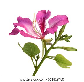 Closed up pink flower (Bauhinia purpurea or Butterfly Tree , Orchid Tree ) isolated on white background.Saved with clipping path.