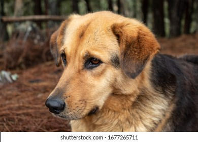 Closed up portrait to a beautyiful yellow/black mixed breed dog looking with atention lying in ground dried brown pine needles and pine forest at background
