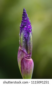 Closed purple iris flower covered in water droplets, blurred green garden background.