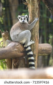 Closed up Ring tail lemur in the zoo