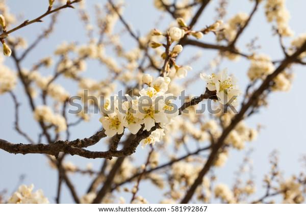 Closed up of sakura (Cherry) blossom background