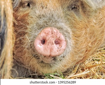 Closed up shot of face of a happy pig lying lazily on straws seeing ears nose nostrils and closed eyes