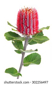 Closed up a single Banksia Coccinea flower with leaves isolated on white background