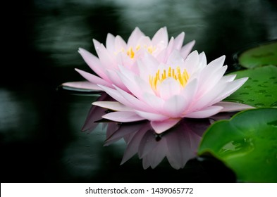 Closed up soft pink water lily or lotus flower in dark pond background and green leaf
