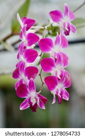 Closed up of Thai orchid in the garden