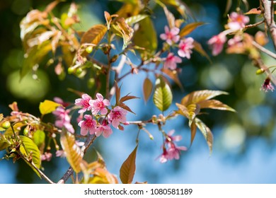 Closed up view of the blooming Wild Himalayan Cherry flower in Spring, Chaingmai Thailand