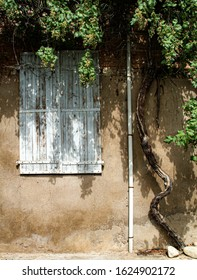 closed window shutters surrounded by wine tendril