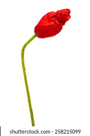 closed wrinkly poppy bud isolated on white