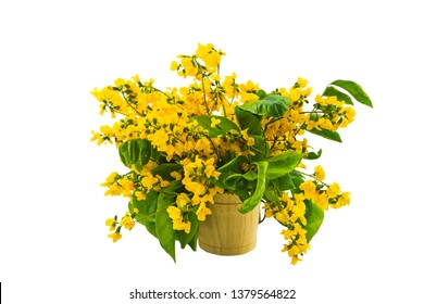 Closed up yellow flower of Burmese Rosewood or Pterocarpus indicus Willd,Burma Padauk and green leaf in vase isolated on white background.Saved with clipping path.