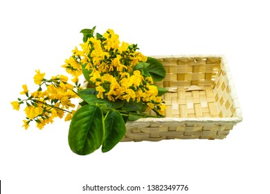 Closed up yellow flower of Burmese Rosewood or Pterocarpus indicus Willd,Burma Padauk and green leaf in basket isolated on white background.Saved with clipping path.