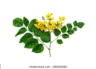 Closed up yellow flower of Burmese Rosewood or Pterocarpus indicus Willd,Burma Padauk and green leaf isolated on white background.Saved with clipping path.