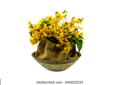 Closed up yellow flower of Burmese Rosewood or Pterocarpus indicus Willd,Burma Padauk and green leaf in sack isolated on white background.Saved with clipping path.
