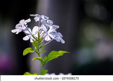 Closed-up blue flowers Phlox divaricata or woodland phlox. woodland phlox plant in the garden. - image