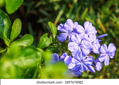 Closed-up blue flowers Phlox divaricata. Phlox divaricata plant in the garden in the morning on natural background.  - Image