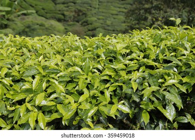 Closed-up Tea Leaves in Tea Plantation in Cameron Highlands , Malaysia