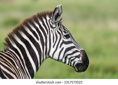 Closep of zebra head in profile on green unfocused background