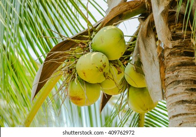 Closer Coconut cluster on Tree of sea sky bright atmosphere.  Coconut cluster on coconut tree