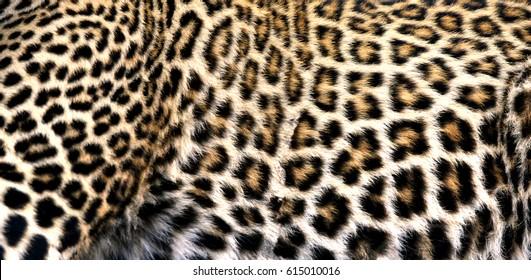 Closer look on the pattern of Leopard,  Masai Mara