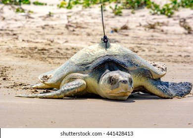 A closer look at a rare and critically endangered Kemps Ridley Sea Turtle with a radio transmitter on it's carapace or shell. It has just laid eggs and is returning to the ocean.