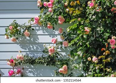 Closer shot of the Climbing Rose, with shadows on the wall.Climbing Rose growing on the Front of a Jarrah Cladding Wall.