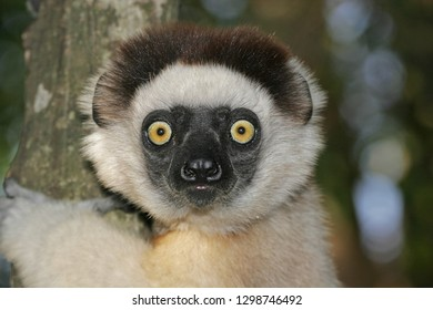 Closeu of a Verreaux's Sifaka, Propithecus verreauxi) also known a sthe White Sifaka, in Madagascar.