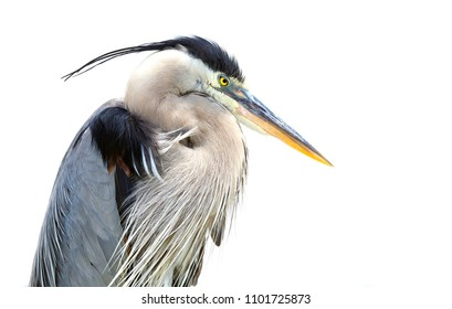Closeuo of a Great Blue Heron on  a White Background