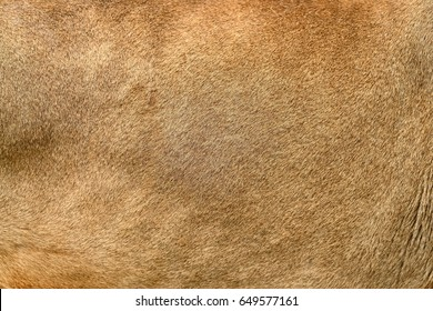 Closeuo real lion skin texture. Lion fur background texture image background