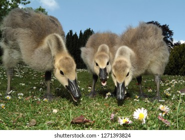 close-up of 3 goslings feeding in park