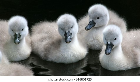 Close-up of 4 Mute Swan cygnets (Cygnus olor) swimming close together