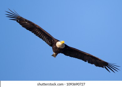 Closeup (800 mm ) of a bald eagle flying, seen in the wild in  North California