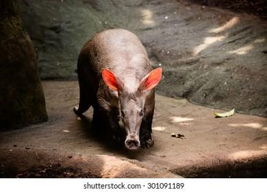 Closeup of an aardvark (Orycteropus afer)