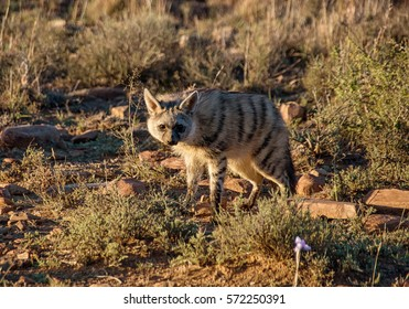 Closeup of an Aardwolf foraging in Southern African savanna at dusk