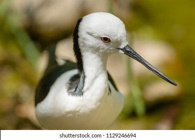 Close-up of aBlack-winged Stilt, Himantopus himantopus, black and white bird with long red legs.