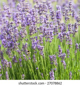 Close-up of abundant lavender flowers with a bee pollinating, shallow depth of field, focus on the bee
