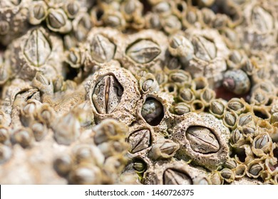 Closeup of Acorn barnacles (Semibalanus balanoides)next to a rockpool on the beach