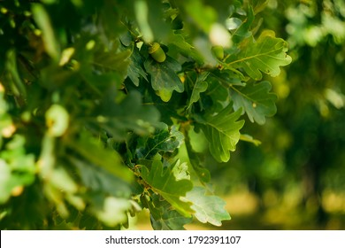 Close-up acorn in oak foliage on tree; blurred green nature background