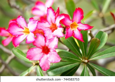 Closeup Adenium with daylight.It is beautiful shrub and easy growing plant,drought tolerant,like the sunshine and bushy.The other name is Impala Lily,Desert Rose.