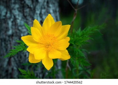 closeup of Adonis vernalis flower