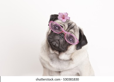 Close-up of adorable cute pug puppy dog wearing pink reading glasses and flower