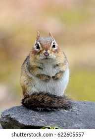 Closeup of an adorable female chipmunk posing with her fluffy tail wrapped around her