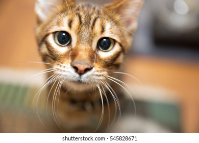 close-up of adorable toyger kitten with whiskers