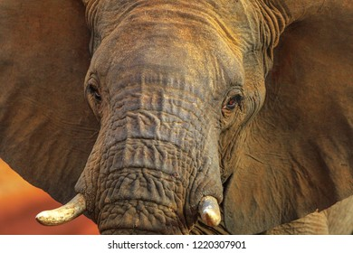 Closeup of adult african Elephant, Loxodonta, part of popular Big Five. Game drive safari in Madikwe Game Reserve, South Africa, near Botswana border and Kalahari Desert. Front view, details of face.