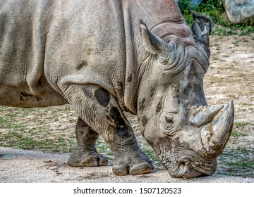 Closeup of an adult African white rhino (or square-lipped rhinoceros), the largest and most social of all rhino species.