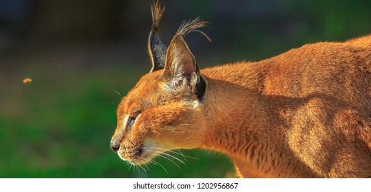 Closeup of adult Caracal, African lynx walking outdoor in blurred background. Desert cat in green grass vegetation. Wild cat in nature habitat, South Africa. Copy space.