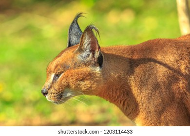 Closeup of adult Caracal or African lynx walking outdoor in blurred background. Desert cat in green grass vegetation. Wild feline in nature habitat, South Africa.