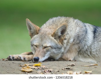 Closeup of an Adult Coyote Sleeping