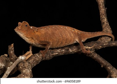 Pygmy Chameleon Images Stock Photos Vectors Shutterstock
